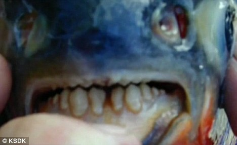 """长牙""""食人鱼""""专咬男性生殖器"""